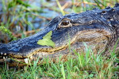 Portrait of Alligator in Everglades, USA Royalty Free Stock Photo