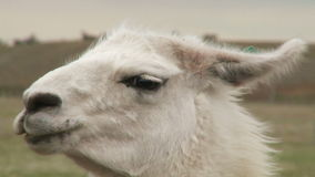Portrait of alpaca Royalty Free Stock Photo