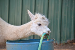 Portrait of an Alpaca. Head portrait of an Alpaca (Vicugna pacos) chewing a green hose, against green barn background Stock Images