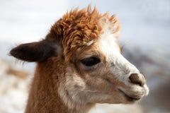Portrait of an alpaca lama Royalty Free Stock Photography