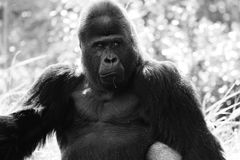 Portrait of alpha male gorilla. Black and white portrait of alpha male gorilla at local zoo Stock Photography