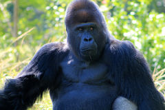 Portrait of alpha male gorilla Stock Photos