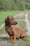 Portrait of an Alpine Dachsbracke Royalty Free Stock Photo