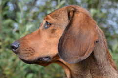 Portrait of an Alpine Dachsbracke Stock Images