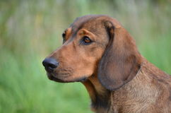 Portrait of an Alpine Dachsbracke Royalty Free Stock Image