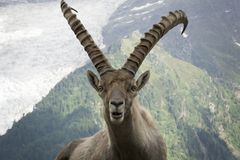 Portrait of an alpine ibex capra ibex. Portrait of an alpine ibex capra ibex Stock Photo