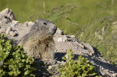 Portrait Alpine Marmot Royalty Free Stock Photography