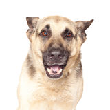 Portrait of Alsatian dog. Isolated on white background royalty free stock photos