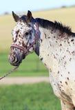 Portrait of Altai native breed horse piebald or Stock Photo