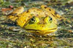 Portrait américain de grenouille de grenouille mugissante Image stock
