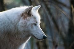 Portrait of am arctic wolf. A portrait of an amazing arctic wolf that I took few days ago royalty free stock images
