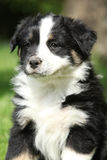 Portrait of amazing australian shepherd puppy Stock Images