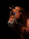 Portrait of amazing  bay  arabian horse Royalty Free Stock Photo