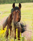 Portrait of amazing bay horse Royalty Free Stock Photos