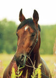Portrait of amazing bay horse Royalty Free Stock Photography
