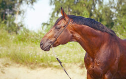 Portrait of amazing bay horse Royalty Free Stock Photo