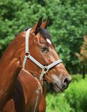 Portrait of amazing bay horse Stock Photos