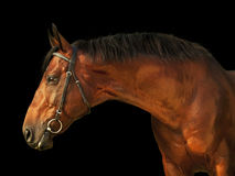 Portrait of amazing bay stallion isolated on black Royalty Free Stock Images