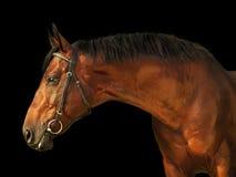 Portrait of amazing bay stallion isolated on black. Portrait of  nice stallion isolated on black outdoor sunny day Royalty Free Stock Images