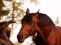 Portrait of amazing bay thinking  horse Royalty Free Stock Photography