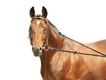Portrait of amazing bay Trakehner stallion isolate. Portrait of cute bay horse outdoor sunny day Stock Photography