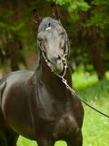 Portrait of amazing black horse. Portrait of cute bronze mare outdoor sunny day Stock Images