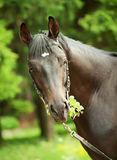 Portrait of amazing black horse with leaves. Portrait of cute bronze mare outdoor cloudy  day Royalty Free Stock Photos
