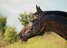 Portrait of amazing black stallion Royalty Free Stock Images