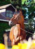 Portrait of amazing breed elite stallion Royalty Free Stock Photo
