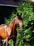 Portrait of amazing breed german stallion . Stock Photography
