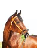 Portrait of amazing breed stallion Stock Photography