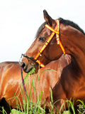 Portrait of amazing breed stallion Royalty Free Stock Photography