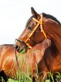Portrait of amazing breed stallion Royalty Free Stock Photography