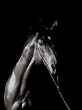 Portrait of amazing breed stallion in dark Stock Photography