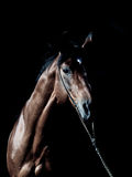 Portrait of amazing breed stallion in dark Stock Photos