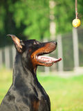 Portrait of amazing doberman with ball Royalty Free Stock Photography