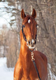 Portrait of amazing young chestnut horse Royalty Free Stock Images