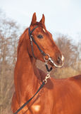 Portrait of amazing young red  horse Royalty Free Stock Photo