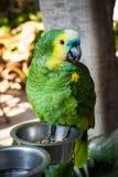 Portrait of Amazon Parrot Stock Photography