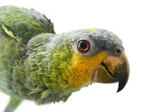 Portrait of Amazon parrot on a white background. Close-up of Yellow-shouldered Amazon parrot, Amazona barbadensis, look at right, isolated on white background Stock Photography