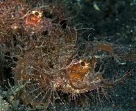 Portrait of Ambon Scorpionfish Royalty Free Stock Photos