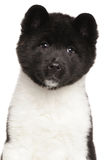 Portrait of American Akita puppy Royalty Free Stock Photography