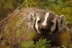 Portrait Of American Badger. A portrait of an American Badger looking out from vegetation in Yellowstone National Park Stock Photography