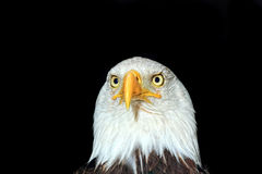 Portrait of an american bald eagle Royalty Free Stock Image