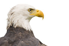 Portrait of an American bald eagle. Isolated Royalty Free Stock Photography