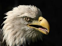 Portrait of An American Bald Eagle isolated on black. Portrait of An American Bald Eagle with dark background Royalty Free Stock Photo