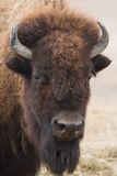 Portrait of American bison. Or buffalo looking up Royalty Free Stock Photos