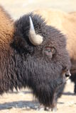 Portrait of an American Bison on the Colorado-Wyoming Border 3. Portrait of an American Bison on the Colorado-Wyoming Border Royalty Free Stock Photography