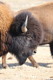 Portrait of an American Bison on the Colorado-Wyoming Border 4. Portrait of an American Bison on the Colorado-Wyoming Border Stock Photography