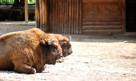 Portrait of American Bison on a farm Stock Photo